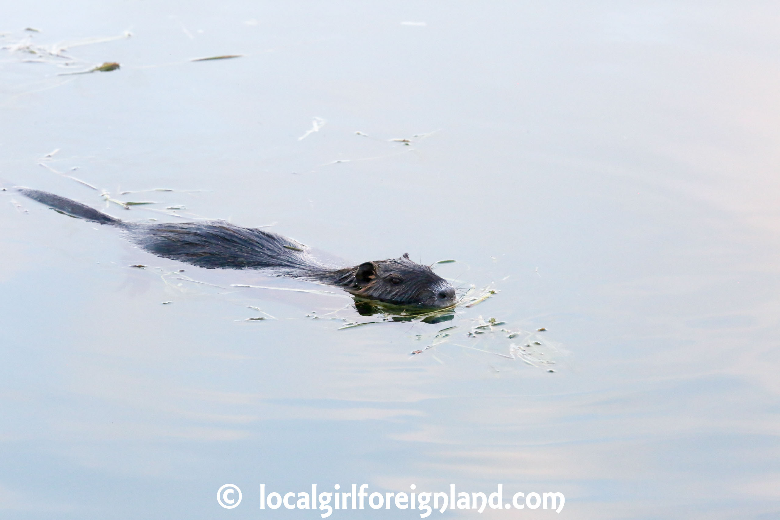 Coypu-Yonne-Burgundy-France
