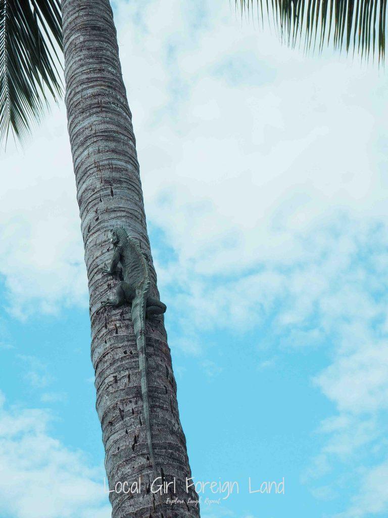 iguana, guadeloupe